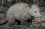 Virginia opossum in the game RDR 2