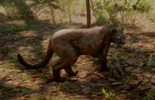 Panther in Red Dead Redemption 2: where to find
